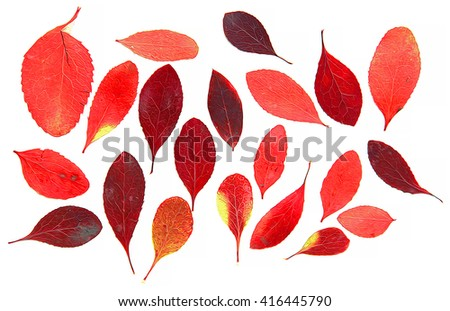 oil paint dry leaf of red barberry branch tree  draw object isolated leaves on white scrapbook background draw object, autumn leaf, thorny shrub that bears yellow flowers and red or blue-black berries - stock photo