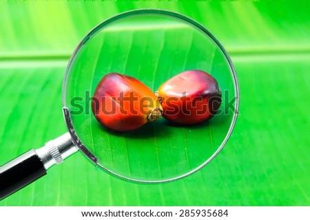 Oil palm - stock photo
