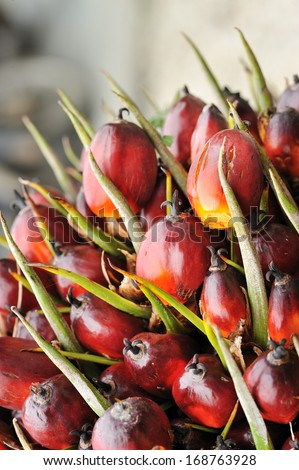 Oil Palm fruits background - stock photo