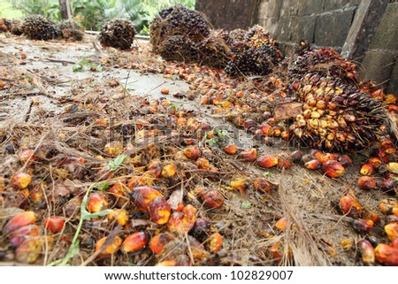 Oil palm fruits before processing.
