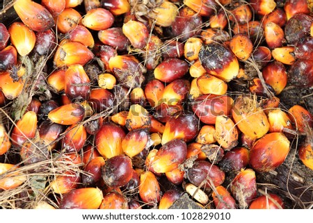 Oil palm fruits before processing. - stock photo