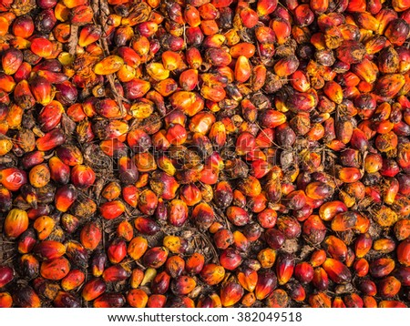 Oil palm fruits before processing in Thailand.