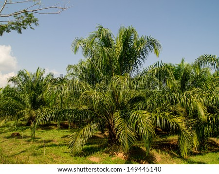 oil palm plantation in Thailand with blue sky