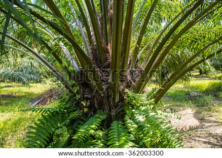 Oil Palm Plantation is raw material for biodiesel production