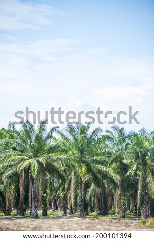 Oil palm tree in the field - stock photo