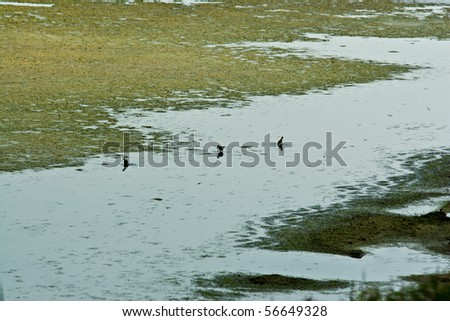 Oil patch coming to shore while birds are feeding - stock photo