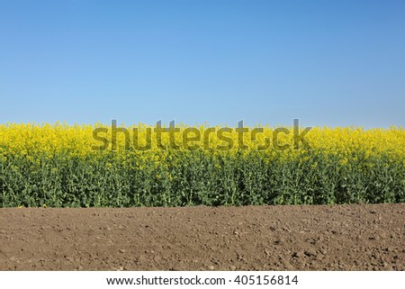 Oil rape, blossoming canola plants in field, early spring - stock photo