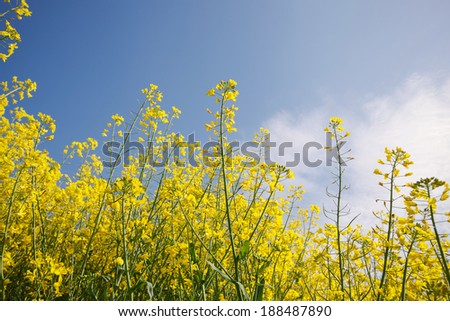 Oilseed Rape, Canola, Biodiesel Crop.  Flowering oilseed rapeseed. Selective Focus of Canola Field - stock photo