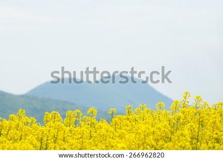 oilseed rape field  - stock photo