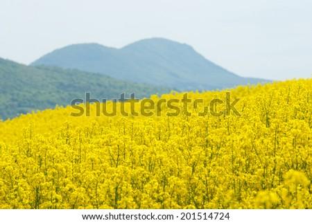 oilseed rape field between the hills - stock photo
