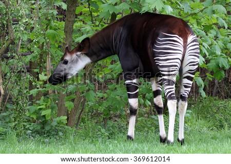 okapi on green grass - stock photo
