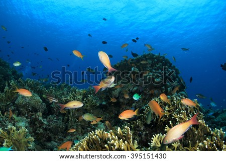 Okinawa Blue / A lot of tropical fish in a reef   Sea goldie
