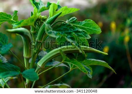 Okra Plant Stock Images RoyaltyFree Images Vectors Shutterstock