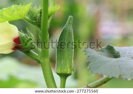 Okra plant ( Lady's Finger) with fruit - stock photo