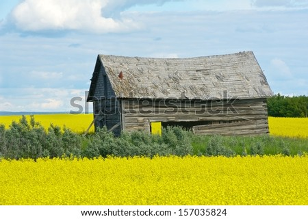 Old abandoned barn in canola field  - stock photo