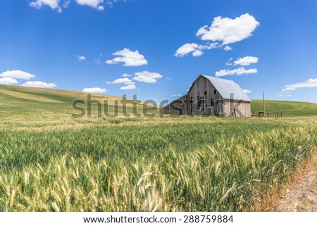 Old abandoned farm barn house and wheat field with blue sky