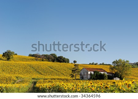 Old abandoned farmhouse surrounded by a sunflower field. - stock photo