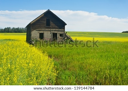 old abandoned house in canola field - stock photo
