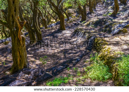 Old active beautiful Olive grove confined with mossy stone walls, in its own shade in village of Krini at Corfu Island Greece - stock photo