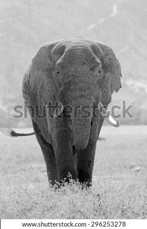 Old african elephant, Loxodonta Africana, in Ngorongoro Conservation Area, Tanzania. Black and white vintage image. - stock photo