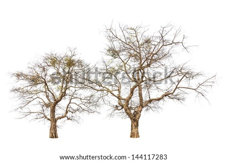 Old and dead trees isolated on white background