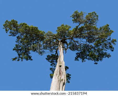 Old and mis-shaped cedar tree at grave of Lafayette Meeks, Confederate soldier at Appomattox Courthouse National Park - stock photo