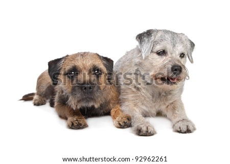 Old and Young border terrier dogs in front of white background