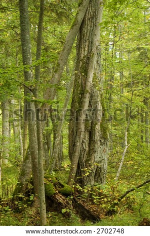 Old and young lyme tree(Tilia cordata) in the deciduous natural forest, autumn,middle europe,poland,bialowieza forest