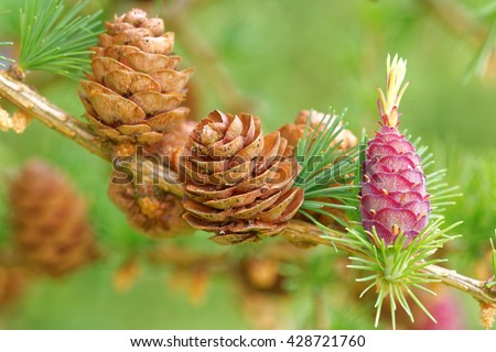Old and young ovulate cones and young pollen cones of larch tree in spring, end of May. - stock photo