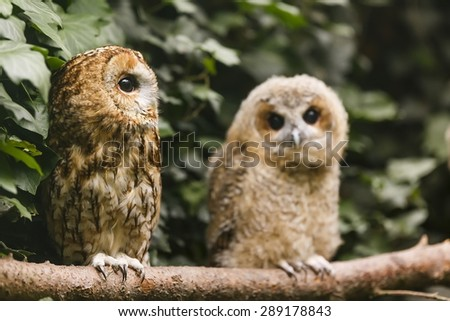 old and young tawny owl