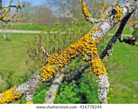 Old apple tree branch covered with growing yellow lichens close up macro.                                - stock photo
