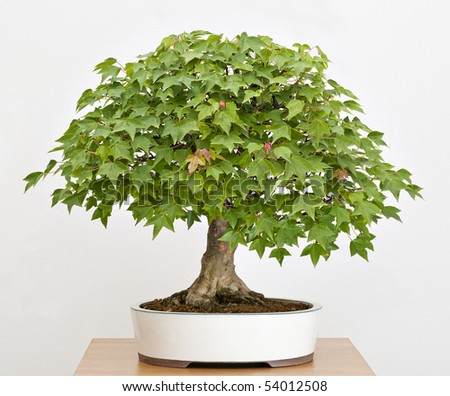 Old, artistic, Maple tree bonsai in Spring