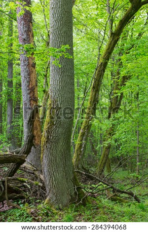 Old ash tree in springtime deciduous stand of Bialowieza Forest,Poland,Europe