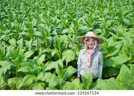 old asian woman farmer in tobacco farm of thailand - stock photo