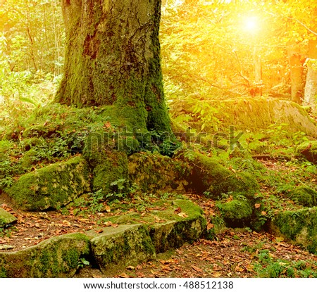 Old beautiful oak tree in autumnal forest. Autumn background with sun rays or sun shine.