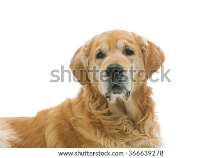 Old beautiul golden retriever dog - stock photo