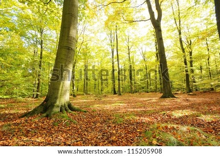 Old beech forest in autumn. Poland - stock photo
