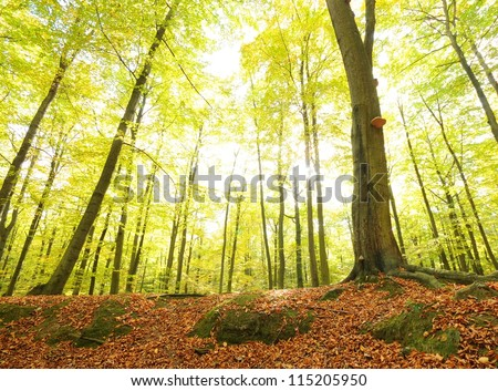 Old beech forest in autumn. Poland
