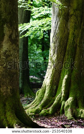Old beech tree in the virgin forest Sababurg north of Kassel (Hessen, Germany), lush green leafs in the morning light, soft bokeh in the background./Old beech forest in the spring - stock photo