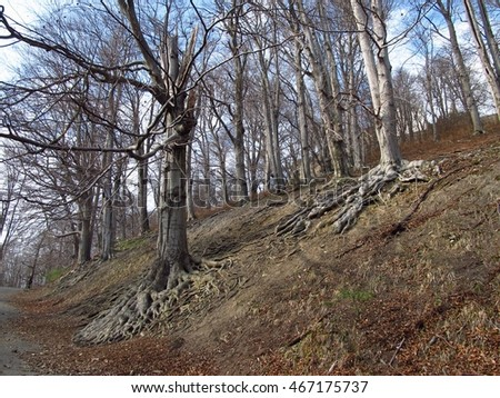 old beech trees with revealed roots on the slope on Hukvaldy, Czech Republic