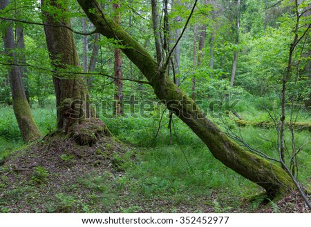 Old bent hornbeam trees in autumnal landscape of primeval deciduous stand of Bialowieza Forest,Bialowieza Forest,Poland,Europe
