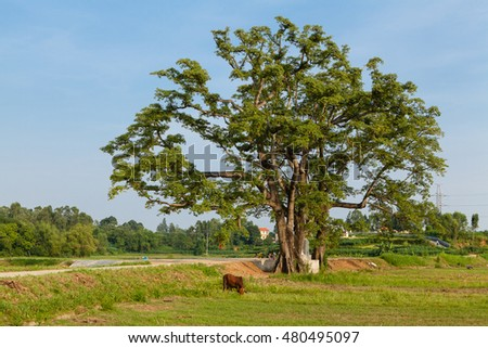 Old big tree under blue sky at Lap Thach, Vinh Phuc, Hanoi