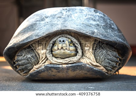 Old big turtle pulled his head back into his shell - stock photo