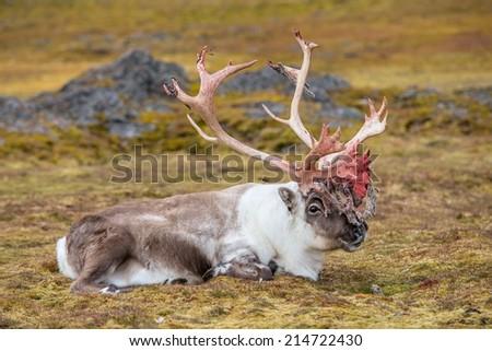 Old, big, wild reindeer in Arctic tundra - stock photo
