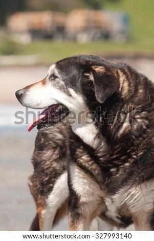 old black and white Huntaway dog at a beach, Pouawa, Gisborne, East Coast, North Island, New Zealand  - stock photo