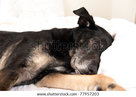 Old Black Dog Sleeping in Owner's Bed
