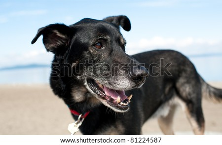 Old Black Shepherd Mix Enjoying Walk on Beach - stock photo
