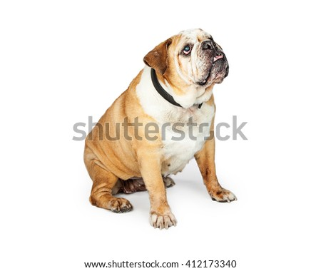 Old blind purebred English Bulldog