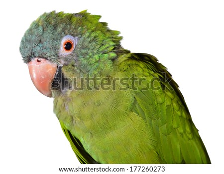 Old Blue Crown Conure