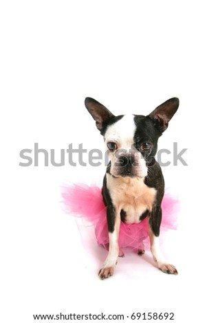 Old boston terrier with a pink tutu sit on a white floor - stock photo